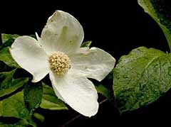 Pacific Dogwood - our club flower